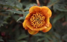 Paeonia delavayi orange