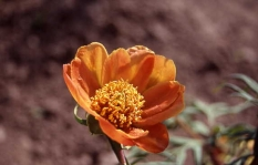 Paeonia delavayi orange 2