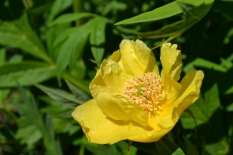 Paeonia del. lutea 'Yellow Queen'