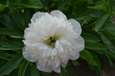 Paeonia officinalis 'Alba Plena'