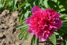 Paeonia officinalis 'Rosea Plena'